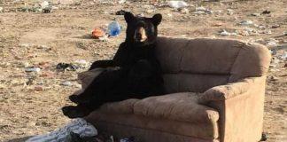 Urso a descansar no sofá