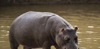 Hipopótamo peidou-se