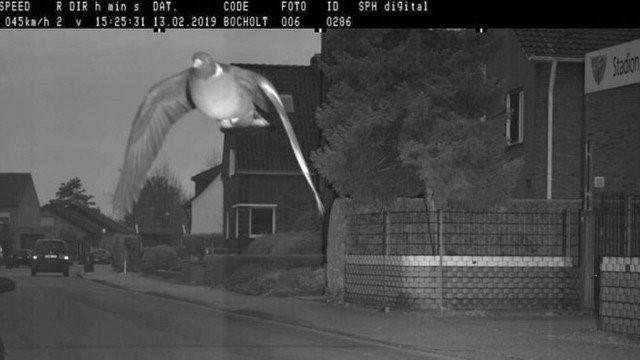 Pombo é apanhado em excesso de velocidade