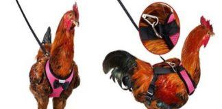 coleiras para ajudar a tua galinha