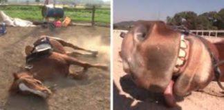 Cavalo finge-se morto