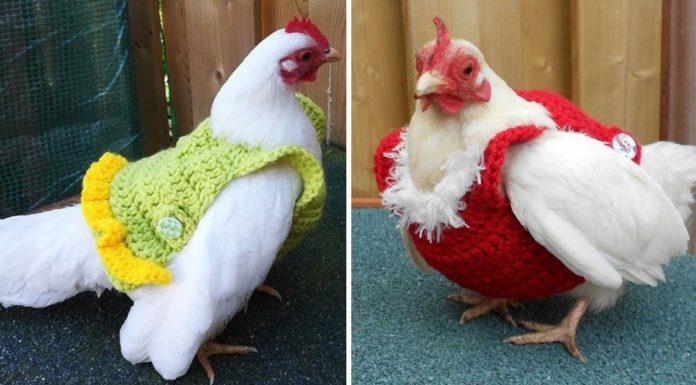 proteger as tuas galinhas do frio