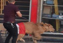 Manifestante leva leão para protesto