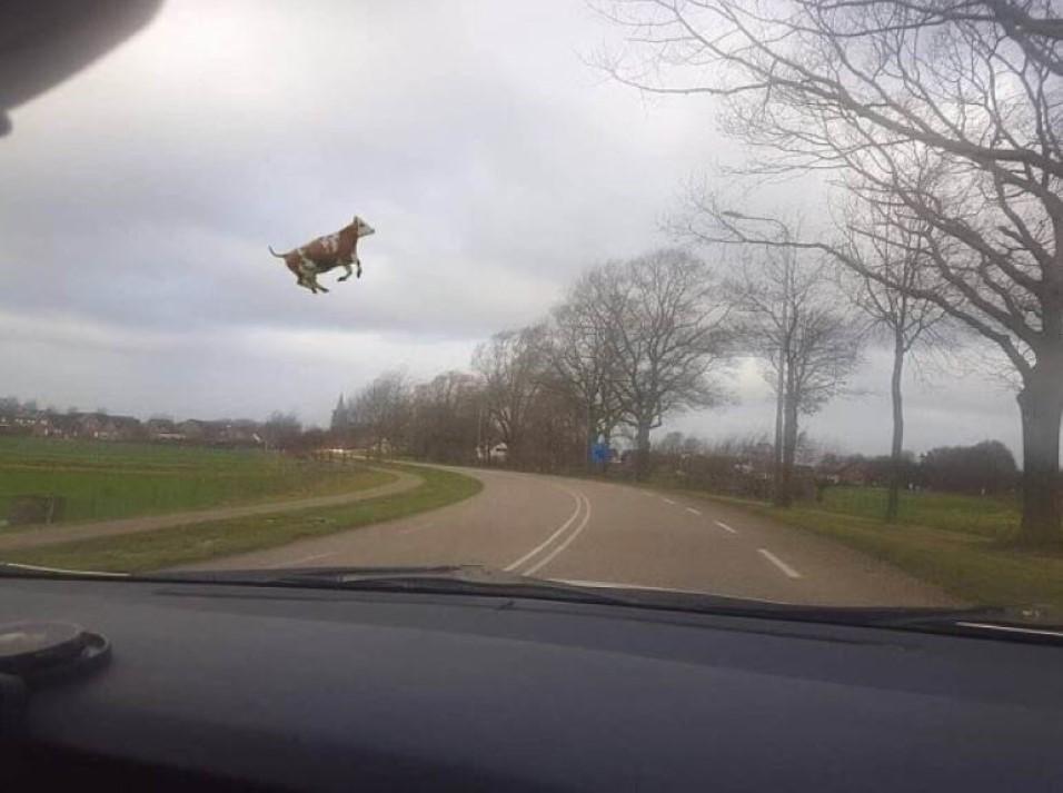 Ventos Fortes fazem vaca voar