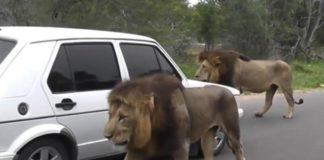 Câmara solta 30 leões nas ruas