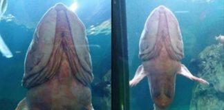 Aparência de peixe-mangalho