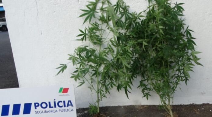 Homem atira sementes de cannabis para o quintal do vizinho e chama a polícia 3 meses depois
